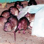 New York.- Exigen Medidas Urgentes Para Controlar Plaga De Ratas (Vídeo)
